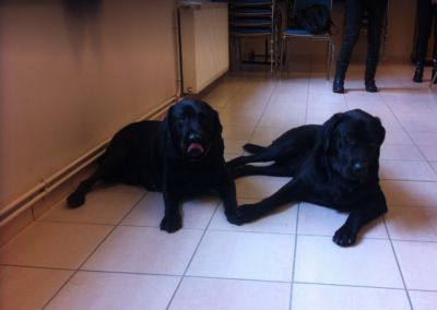 Photo des deux Labradors Jocker et Largo
